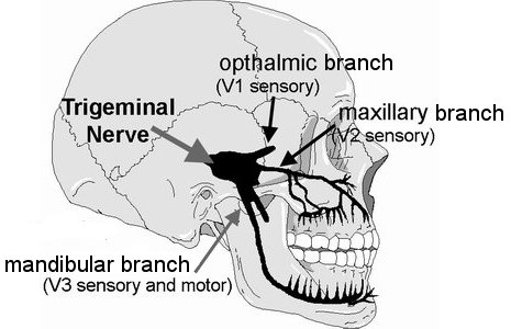 Trigeminal nerve, sinus, eyes, sensory, motor, roots of teeth, sinuses